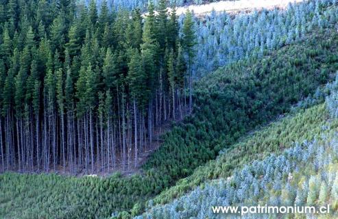 Cousa de Raíces, con la colaboración de 300 voluntarios, logró retirar en un fin de semana más de 206.000 pies de estos contestados árboles en once concellos.