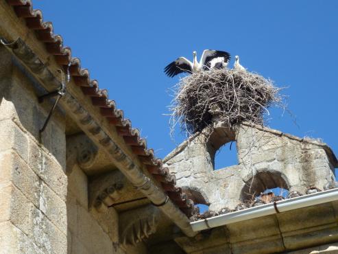 La provincia recibe estos meses a entre 200 y 250 cigüeñas que regresar de África para reproducirse. Gran parte de los nidos son artificiales, colocados por Sociedade Galega de Historia Natural.