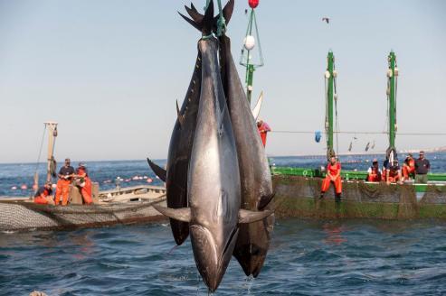 Es uno de los bocados más cotizados de la mar // Un japonés llegó a pagar por una pieza 2,7 millones // Cita gastronómica 'top' en Celeiro con José Ramón 'O Fumeiro'