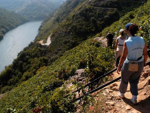 Los kilos recogidos ascienden a casi 60 millones. La D. O. Rias Baixas supone un 56 % de la cosecha.