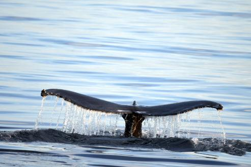 En las últimas horas se ha observado un rorcual común e incluso un ejemplar de tiburón peregrino aprovechándose de la ricas aguas gallegas.